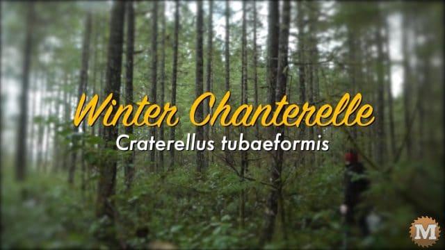Winter Chanterelle (Craterellus tubaeformis)