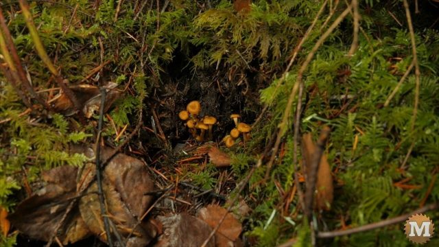 Small cluster of Chanterelle Mushrooms