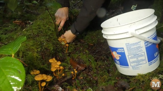 Area with many large clusters of Winter Chanterelle Mushrooms