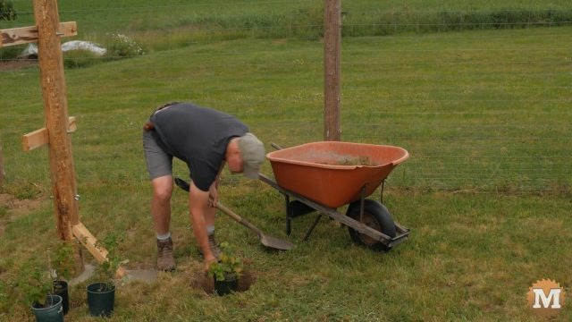 Digging holes for raspberry bushes